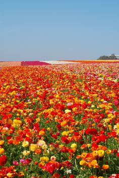 Carlsbad Flower Fields, California