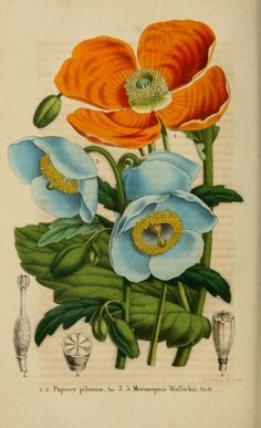 Belgique horticole. By Morren, Charles, 1807-1858 Morren, Edouard, 1833-1886 / Not in Copyright (aka public domain) - http://www.biodiversitylibrary.org/item/27071#page/348/mode/1up