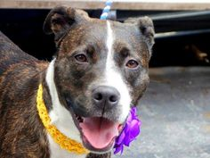 TO BE DESTROYED THURSDAY MAY 29 MANHATTAN NY *CRIES SOFTLY MISSING HER FAMILY!!!* A volunteer writes: Ivan is a pretty female who seems to have been perfectly cared for by her previous owners who left her with us as they were moving to a place not allowing dogs. She is healthy, well groomed , is the perfect weight and comes with excellent recommendations. Ivan is a little tense, cries softly at times and pulls on the leash. She is at ease, free in a pen where she comes when called, sits on…