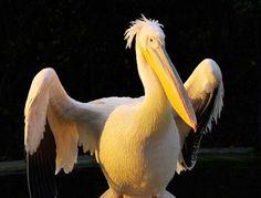 Zu Gast in der Savanne | Zoo Heidelberg  Rosa Pelikan in der Abendsonne