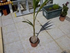 Growing a coconut palm tree is easy and fun. All you need is a coconut to get started. In the following article, you will find planting information for coconut palms and how to care for them.