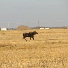 Near saskatoon Places, Pictures, Animals, Animais, Lugares, Animales, Animaux, Animal, Paintings
