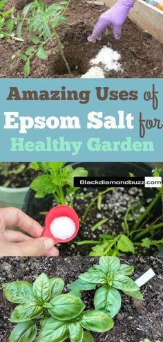 Uses of Epsom Salt for healthy Garden- Incredible Uses for Epsom Salt in the Garden Awesome tips for keeping it organic in the garden and improving the health of the plants. I'm planning on adding it to the tomatoes and peppers this year. #garden #epsomsalt #homesteading #summerplanting #home #plant