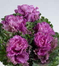Purple Kale © 2015 Patty Hankins