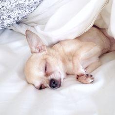 Bella Anker Chihuahua | Pawshake