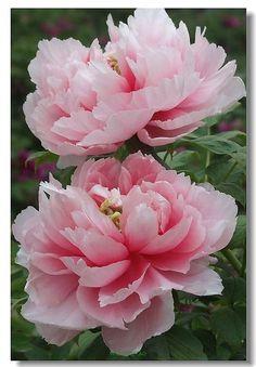 植物花卉 嘀咕图片