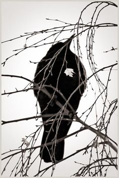 Crowheart (Photography by Larry Blackwood, from his 'Opus Corvus' series)