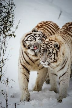 Winter Love - White tigers at Feline Park, France. By [Deadboxrunner] white tiger love I Love Cats, Big Cats, Cats And Kittens, Beautiful Cats, Animals Beautiful, Beautiful Pictures, Simply Beautiful, Animals And Pets, Cute Animals