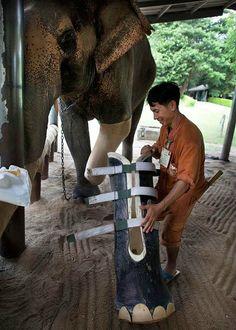 . En Thaïlande, cet éléphant reçoit une nouvelle prothèse après avoir marché sur une mine.