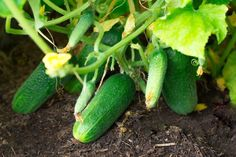 Read our guide to growing cucumbers in your garden or pots - All you need to know from planting to caring for your cucumbers to harvesting and storing Cucumber, Harvest, Organic, Gardening, Vegetables, Plants, Knitting Patterns, Balconies, Knit Patterns