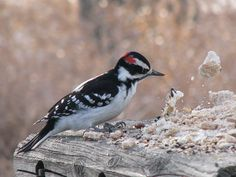 So where's the good stuff????    Downy woodpecker (Picoides pubescens) by Lilypon_SK, via Flickr
