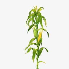 Maize corn stalks picture corn leaves PNG and Clipart Corn Drawing, Plant Drawing, Plant Painting, Autumn Painting, Aztec Architecture, Farm Images, Corn Stalks, Farm Paintings, Carnelian