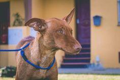 Poppy fue rescatada a pie de carretera, deshidratada, hambrienta y enferma. Ahora totalmente recuperada... #adoptar #mascotas #adopcion #perros #gatos