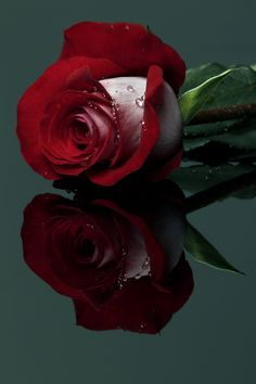Red Rose with drops by Cristobal Garciaferro Rubio, via - min side Beautiful Rose Flowers, Love Rose, Amazing Flowers, Beautiful Flowers, Beautiful Beautiful, Roses Only, Types Of Roses, Single Rose, Rose Photos