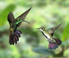 Black-throated-Mango-Hummingbirds