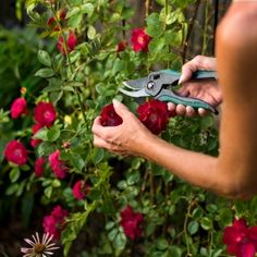 Ordinaire Growing Roses For Beginners: How To Take Care Of Roses | Garden Care,  Flowering Shrubs And Rose Bush
