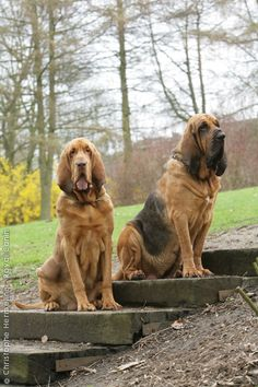 Rayland Red (left) and Moonshine (right). My fictional bloodhounds. Red is mine, Moon is Jordan's. Sigh. I can dream :)