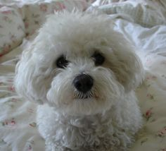 My beloved Bichon, Emma.