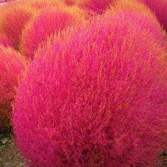 Kochia scoparia seeds,Burning Bush Grass, Rapid Grow Hardy,Summer Cypress - 500