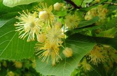 Linden Blossoms - Natural Herbal Remedies for your Health Herbal Witch, Herbal Magic, Be Natural, Medicinal Plants, Herbal Remedies, Natural Remedies, Geraniums, Herb Garden, Herbalism
