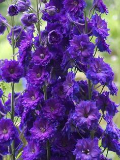 "Delphinium Pagan Purples Zones: 3-8 Type: Perennials Height: Tall 3-5' (Plant 18-24"" apart) Bloom Time: Early Summer to Late Summer Sun-Shade: Full Sun to Mostly Sunny  http://www.bluestoneperennials.com/DEPA.html#sthash.77IeItQo.dpuf"