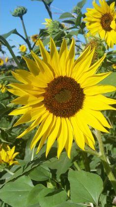 Beautiful jirasol. From my garden! !!