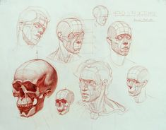 """""""Another head structure demo from awhile back. The form of the head is largely determined by the skull and by fat deposits. The muscles are generally thin…"""""""