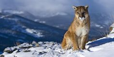 Mountain Lion Pictures   Wallpapers 4 Wall