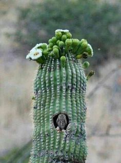 The elf owl nesting in saguaro cactus. The elf owl (Micrathene whitneyi) is the world's lightest owl, the mean body weight of this species is 40 g. Desert Flowers, Desert Plants, Desert Cactus, Beautiful Owl, Animals Beautiful, Elf Owl, Cactus Plante, Owl Pictures, Cactus Y Suculentas