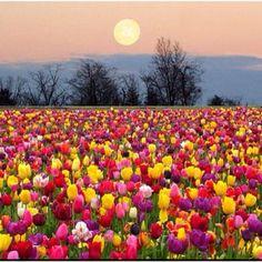 Super moon photo over a tulip field taken by J. Schwanke...beautiful !!!