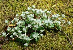 Sedum spathulifolium ssp pruinosum