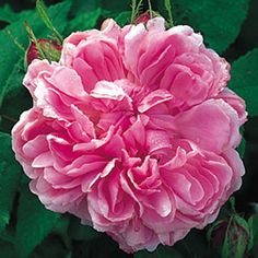 JACQUES CARTIER-Category Old Roses     (Portland Roses)   Bred By Moreau-Robert   Colour Rich Pink   Flower Type Double/Full Bloom   Size Medium Shrub     Hardiness Hardy   Fragrance Strong    Repeating Good     Very similar to 'Comte de Chambord', but with even more perfect flowers. Beautiful, large, rosette-shaped, rich pink flowers with a very strong fragrance. 4 ft. x 3 ft