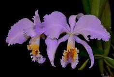 Cattleya mossiae coerulea - Flickr - Photo Sharing!