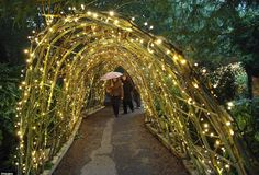 Fairy Lights in willow tunnel