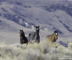 Wild Horses: Please Comment on BLM's Plan to Reduce North Lander Complex in Wyoming Herds to Dangerously Low Numbers | Straight from the Horse's Heart