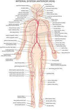 HB Arterial System