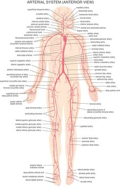 1000 images about biology human body circulatory system on