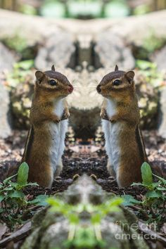 Chip And Dale Irl Photograph  - Chip And Dale Irl Fine Art Print