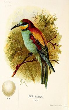 Bee-Eater. A chapter on birds : rare British birds London :E. & J.B. Young,1895. Biodiversitylibrary. Biodivlibrary. BHL. Biodiversity