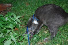 Cat gone wild on catnip plant #catnip - Find out more about Cat nip at Catsincare.com!