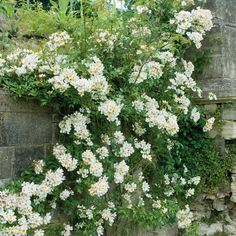 A prolific grower, flowering in huge, fragrant clusters. Buy Wedding Day from David Austin with a 5 year guarantee and expert aftercare. Shade Garden, Garden Plants, Rose Wedding, Wedding Day, David Austin Rosen, Couleur Rose Pale, Obelisk, Rose Delivery, Parma Violets