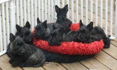 Scottie puppies
