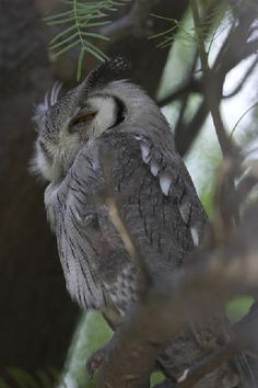 White-faced-scops-owl #SouthAfrica  ~by Matthijs Ravensberg