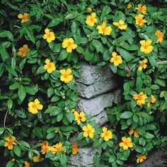 Hibbertia scandens A twining climber or ground cover with slightly gloss green leaves and bright yellow flowers. Looks great climbing up an arch. Prefers a full sun to part shade position.Supplied in 50mm pot.