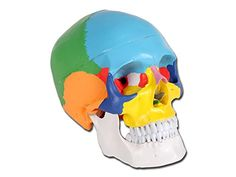 GIMA Human skull anatomy model, 3 parts, 1 x, coloured, anatomy skull Human Skull Anatomy, Human Anatomy Model, Anatomy Models, Head Muscles, Skull Model, Medical Bag, Human Skeleton, Rubber Duck, Pills