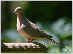 Mourning Dove - pretty doofy birds, but growing on me.