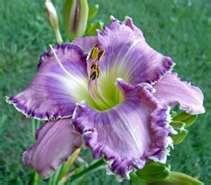 Lavender Daylily....