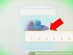 How to Tell How Old a Betta Fish Is: 5 Steps (with Pictures) Aquascaping, Tropical Fish Aquarium, Fish Aquariums, Fish Ocean, Betta Fish Care, Baby Betta Fish, Betta Tank, Beta Fish, Siamese Fighting Fish