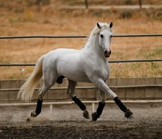 Andalusians and that beautiful rocking canter that they are also known for.