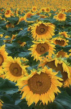 Sunflowers Photograph by Steve Gadomski